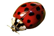Asian Beetle or Lady Bugs