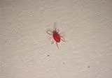 What Is That Little Red Bug Is It A Spider An Ant West
