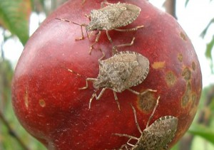 Destruction of Fruit from Sting Bugs