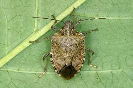 What is a Stink Bug??