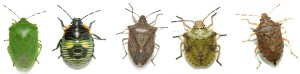 Various types of Stink Bugs